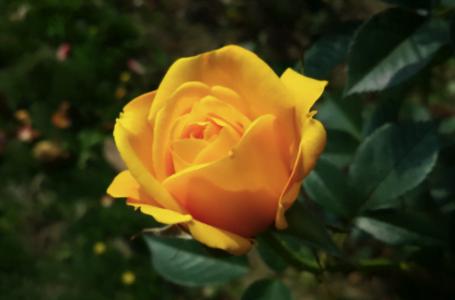 Trandafirii galbeni – de la origini la semnificații